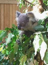 Koala Bear at Cooberrie Park - wildlife sanctuary